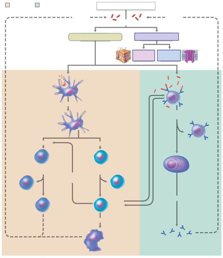 Co-stimulate and release cytokines Present Ag to helper T cells Figure 21.20 Simplified summary of the primary immune response.