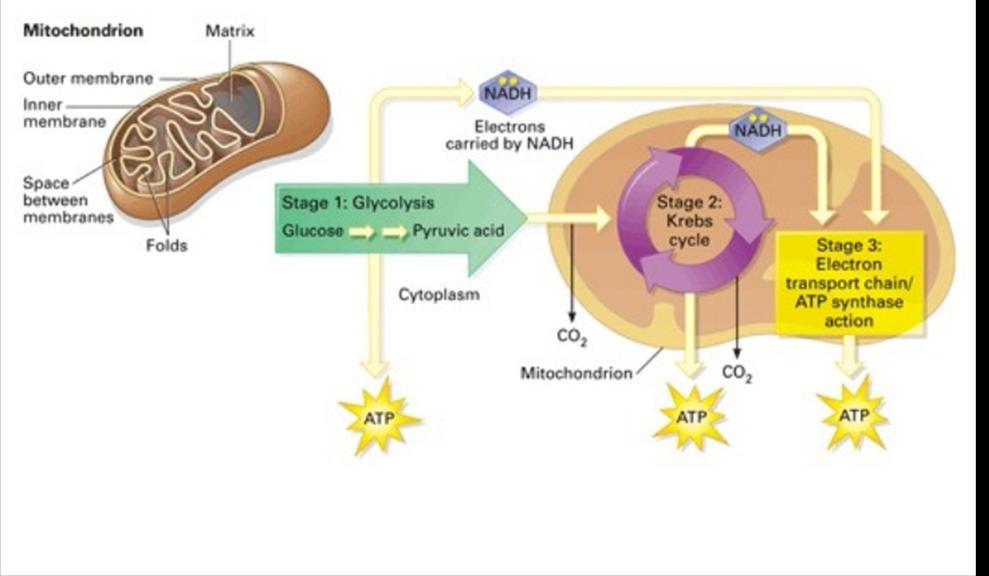 Cellular Respiration goal is to breakdown molecules (glucose) into useful energy sources (ATP adenosine triphosphate) there are two types of cellular respiration 1) Aerobic 2) Anaerobic Aerobic
