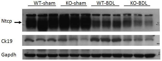 A B Figure S2, Western blot detection of protein expression in wild-type (WT) and Ccl2