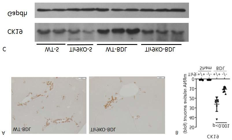 A B Figure S6, Western blot detection of caspase 3 in bile acids treated hepatocytes from