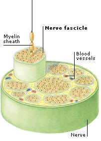 The Nerve Bundle of neurons!
