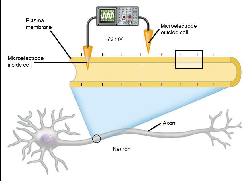 NERVE SIGNALS AND THEIR TRANSMISSION A neuron maintains a membrane potential across its