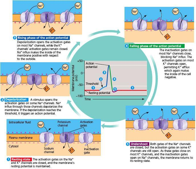 28.5 - THE ACTION POTENTIAL PROPAGATES ITSELF ALONG THE NEURON Action potentials Are self-propagated in a one-way chain reaction along a neuron Are