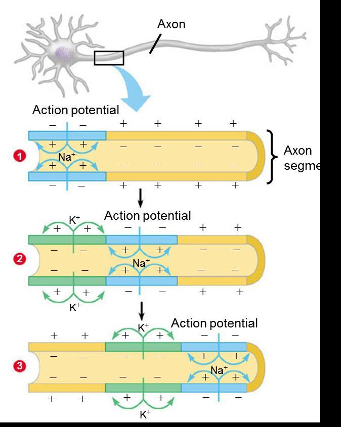 PROPAGATION OF THE ACTION POTENTIAL ALONG AN AXON 1 1. When this region of the axon (blue) has its Na+ channels open, NA+ rushes inward (blue arrows), and an action potential is generated 2.