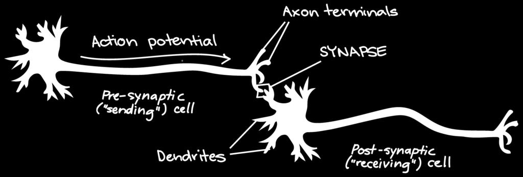 28.6 NEURONS COMMUNICATE AT SYNAPSE When an action potential reaches