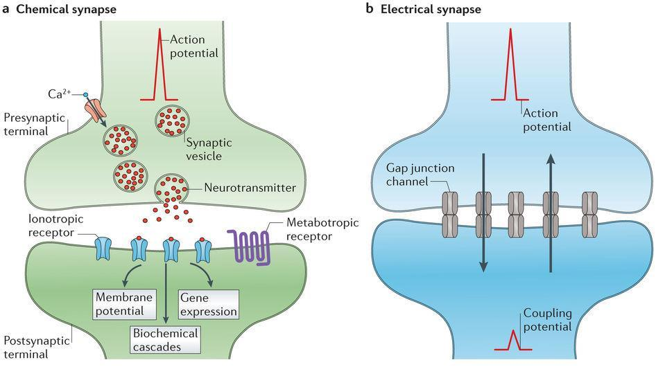 Action potentials are not transmitted from cell to cell rather