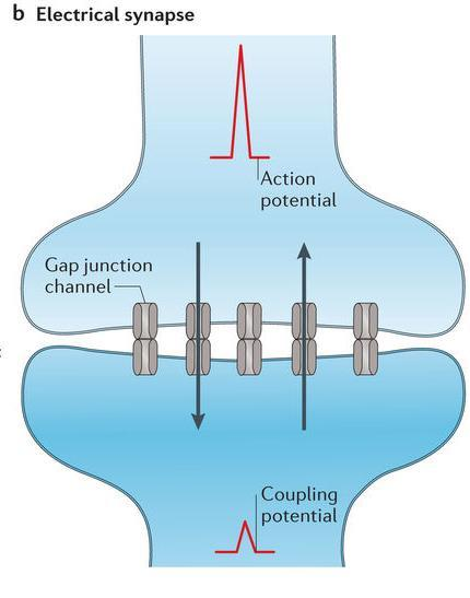 ELECTRICAL SYNAPSE Electrical synapses pass electrical current directly from one neuron to the next The receiving neuron is stimulated quickly and the same frequency of