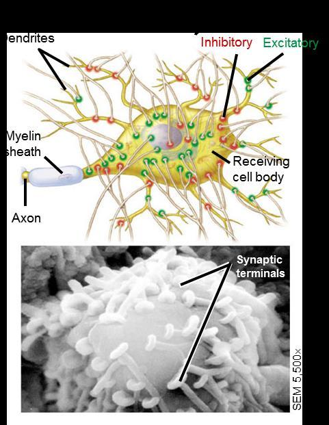 28.7 - CHEMICAL SYNAPSES MAKE COMPLEX INFORMATION PROCESSING POSSIBLE A neuron may receive information from hundreds of other neurons via thousands of synaptic terminals Neurons can have excitatory