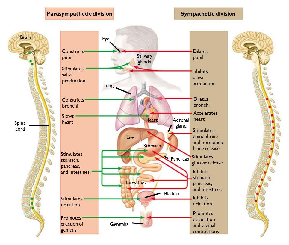 28.13 OPPOSING ACTIONS OF SYMPATHETIC AND PARASYMPATHETIC NEURONS REGULATE THE INTERNAL ENVIRONMENT The autonomic nervous system The parasympathetic division of the autonomic nervous system Primes