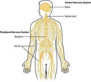 UNIT M & N STANDARDS Core I can create a graphic organizer for the divisions of the nervous system. I can relate parts of the brain to various body functions.