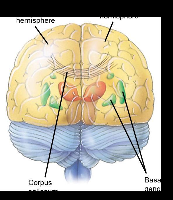 THE BRAIN CONT D Most of the cerebrum s integrative power