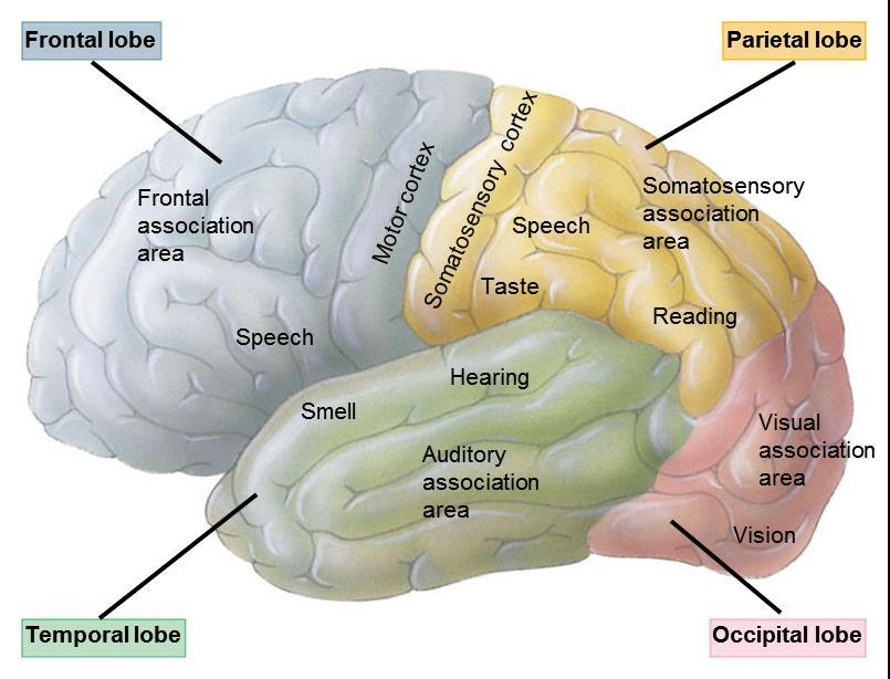 28.16 THE CEREBRAL CORTEX IS A MOSAIC OF SPECIALIZED, INTERACTIVE REGIONS Specialized integrative regions of the cerebral cortex include The somatosensory cortex and centers for vision, hearing,
