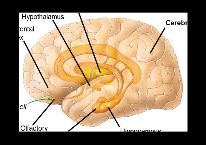 28.19 THE LIMBIC SYSTEM IS INVOLVED IN EMOTIONS, MEMORY,