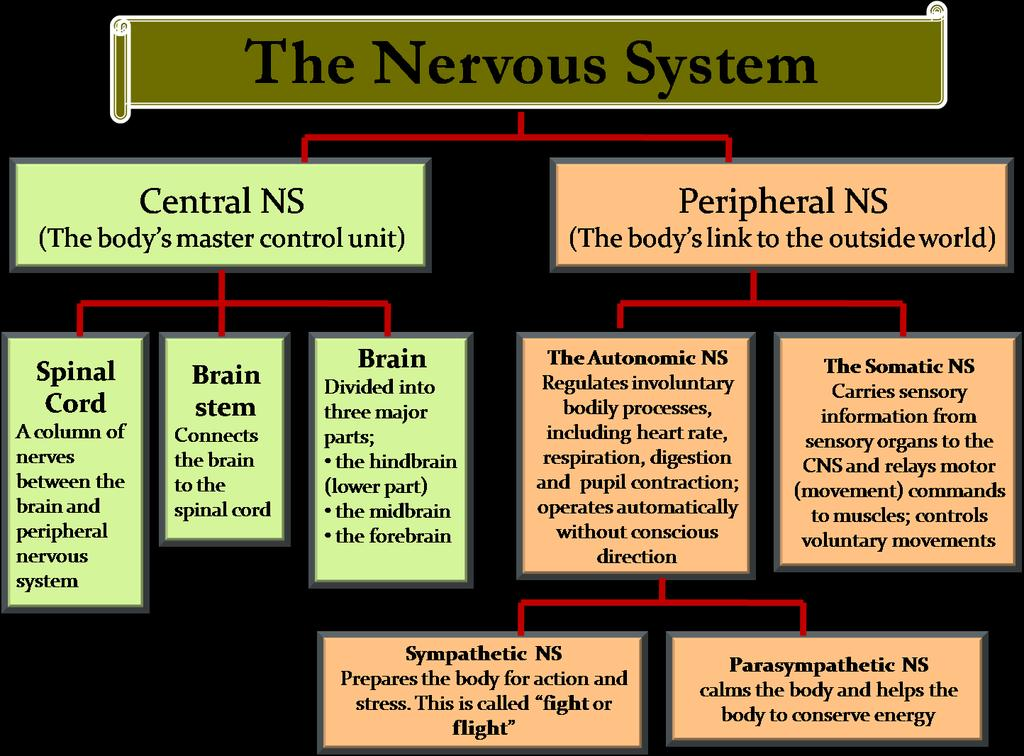 TWO MAIN DIVISIONS Two main divisions are: The central nervous system (CNS) Consists of brain and spinal cord The peripheral nervous system (PNS) Is