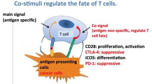 Activated T-cells sit inactive in