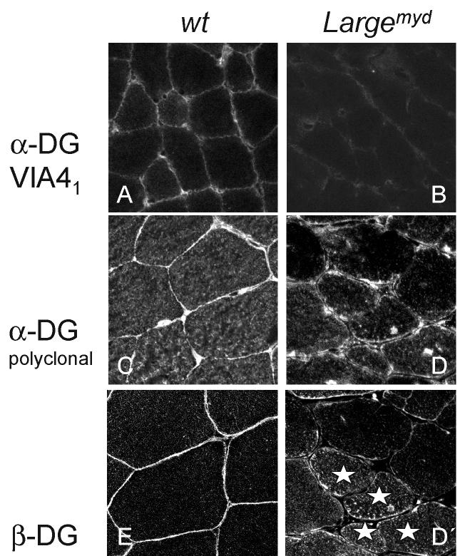 2678 Human Molecular Genetics, 2002, Vol. 11, No. 21 Figure 4. Redistribution of a- and b-dg in Large myd skeletal muscle. (A) Control skeletal muscle fibres using VIA4 1.