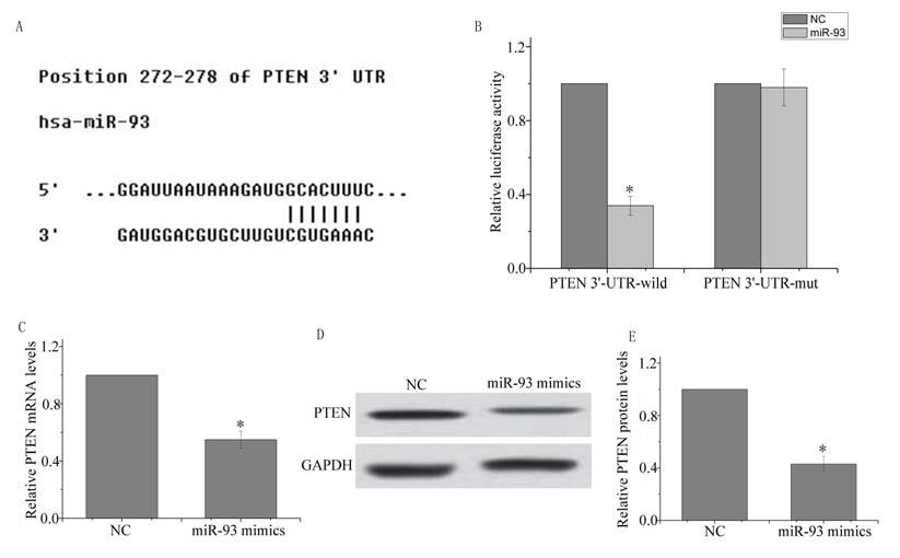 www.karger.com/cpb 962 Fig. 4. PTEN is a direct target of mir-93 in ovarian cancer cells. A TargetScan predicted that the 3 -UTR of PTEN mrna contained a complementary site for mir-93.
