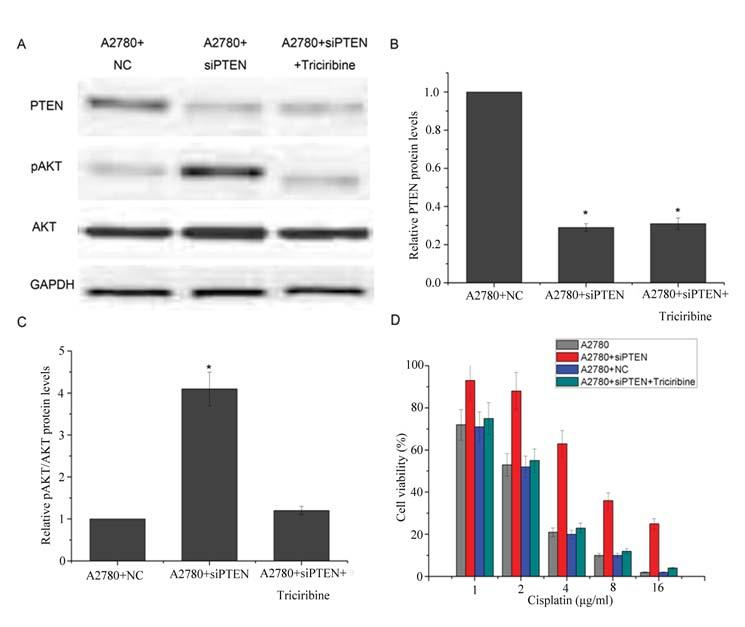 www.karger.com/cpb 963 Fig. 5. PTEN/AKT is a key pathway in cisplatin resistance in ovarian cancer cells. A, B PTEN sirna effectively reduced the PTEN protein level.