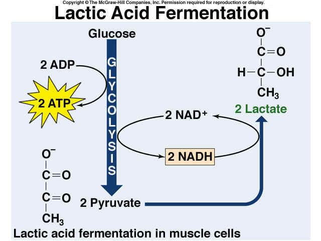 Lactic Acid Fermentation In lactic acid fermentation, an enzyme converts
