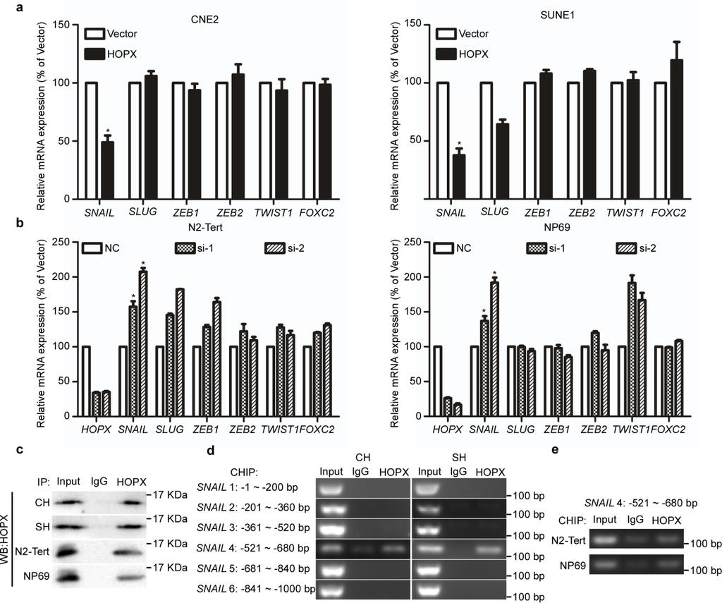 Supplementary Figure 7. HOPX suppresses SNAIL expression in NPC.