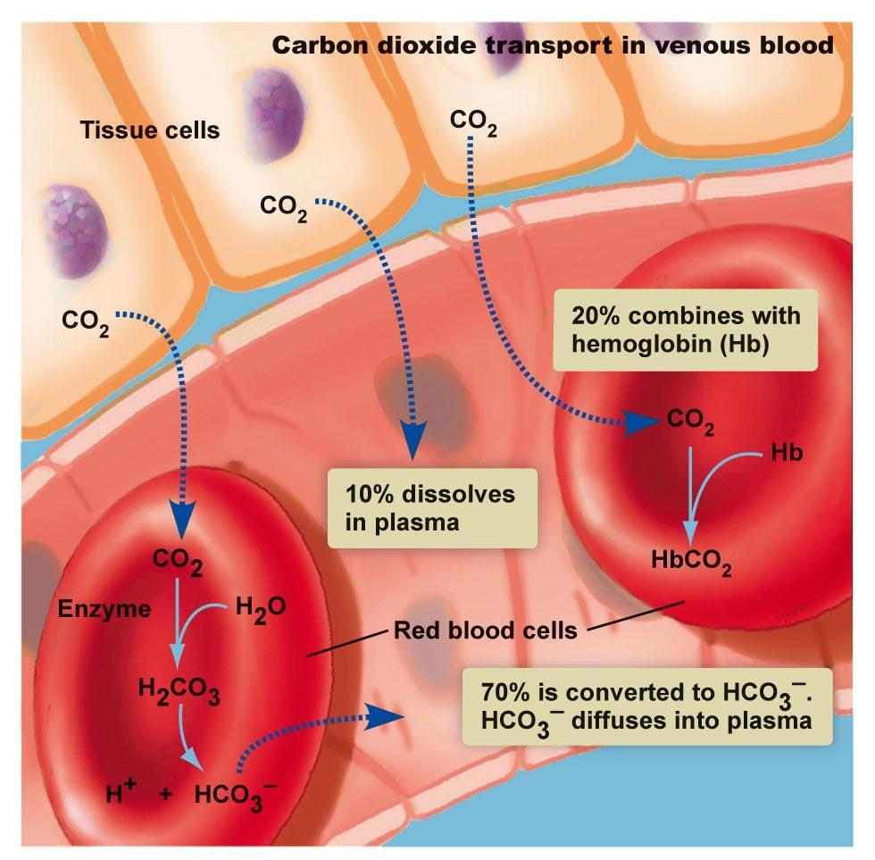 How O 2 and CO 2 are
