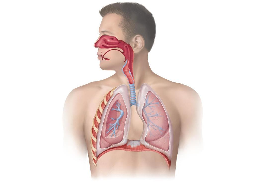 LOWER RESPIRATORY TRACT UPPER RESPIRATORY TRACT Human Respiratory System Nose Passageway for air Mouth Passageway for food and air Epiglottis Covers larynx during swallowing Pleural membranes Cover