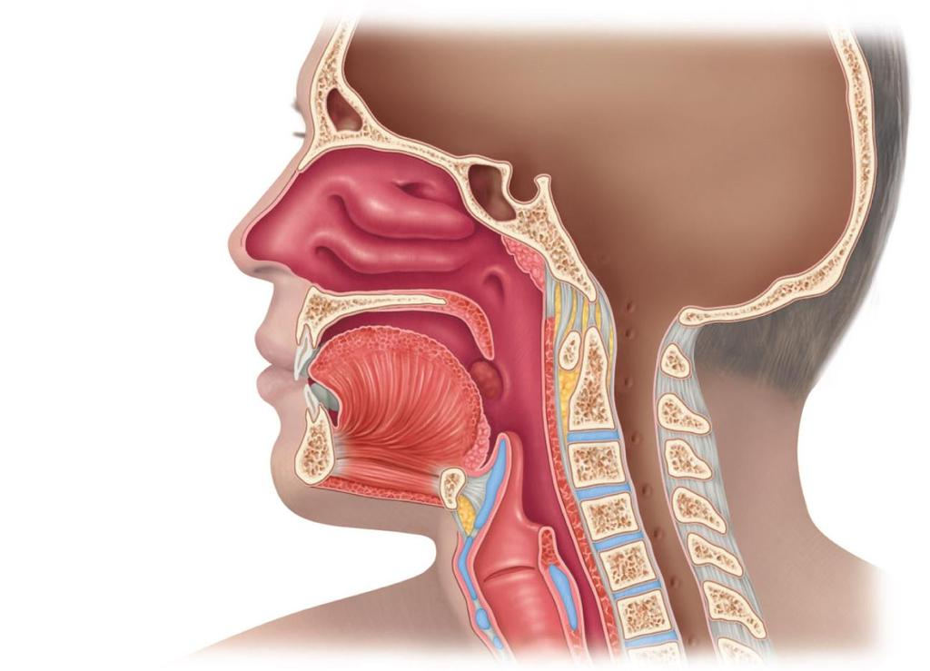 The Upper Respiratory Tract Sinuses Nasal cavity External nose Opening of the