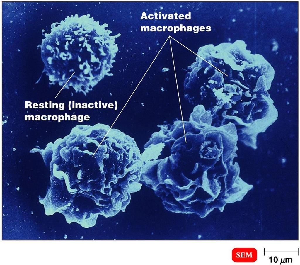 APCs Digest antigen Ag fragments on APC surface with