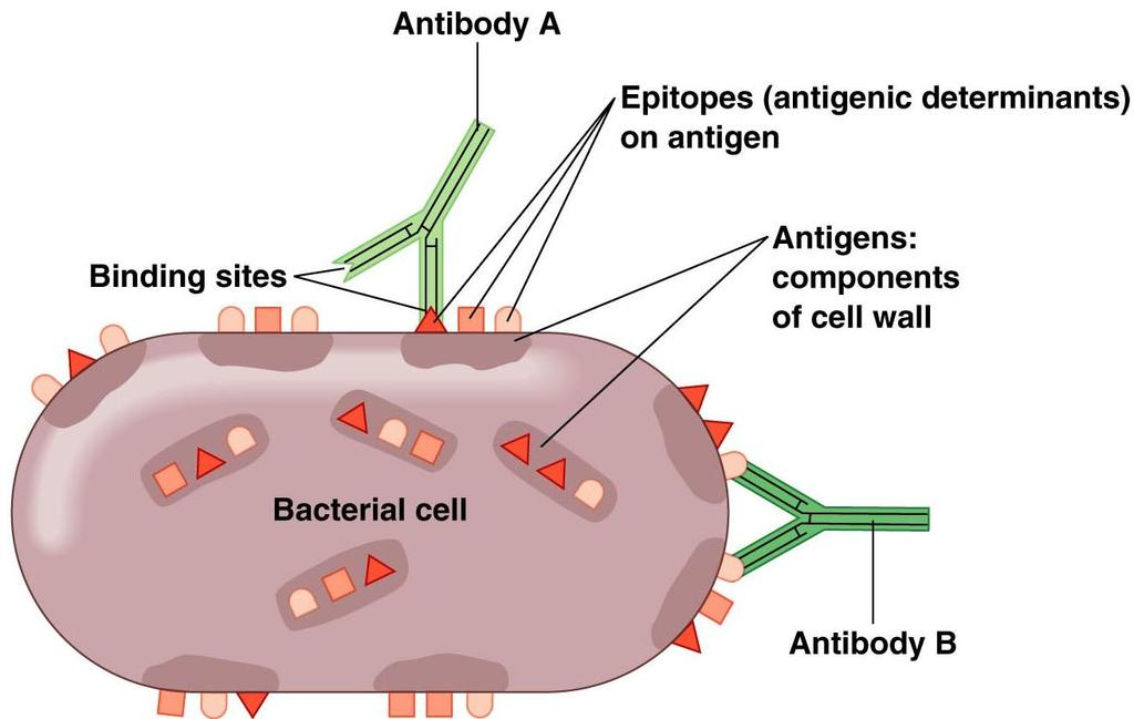 The Nature of Antigens Antigens and