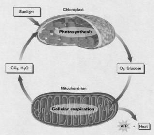 this chapter focuses on how cells use the energy stored in food molecules to make ATP Chemical Energy for Animals Cellular Respiration: is the process by which cells make energy for life processes.