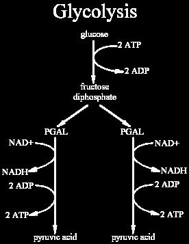 Cellular Respiration (ATP Production) Glycolysis is the first step in respiration. It yields a small amount of ATP.