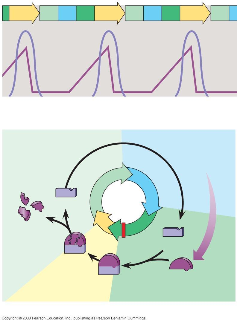 Fig. 12-17 M G 1 S G 2 M G 1 S G 2 M G 1 MPF activity Cyclin concentration Time (a) Fluctuation of MPF activity and cyclin concentration during the cell