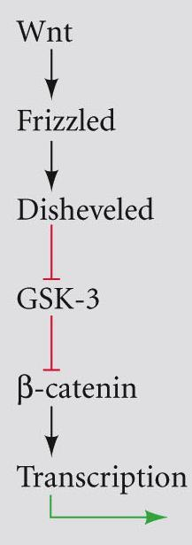 receptor family activates Disheveled Disheveled blocks GSK 3 β catenin released from APC enters nucleus associates with LEF/TCF TFs