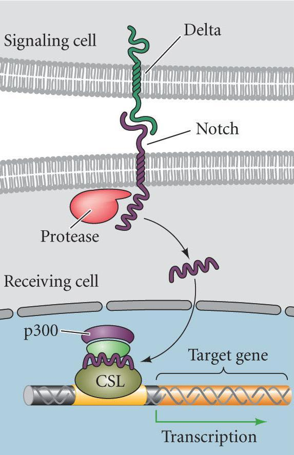 Notch Pathway Juxtacrine signaling: Proteins from the inducing cell interact with receptors from adjacent responding cells