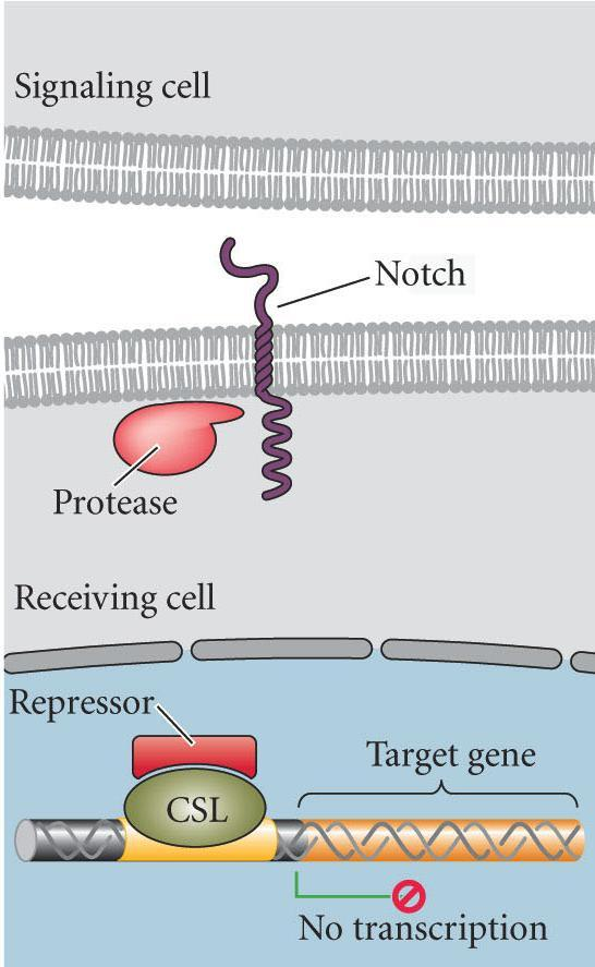 Delta protein bind Notch protease cleaves both outer and inner Notch portions outer portion remains with ligand endocytosed into