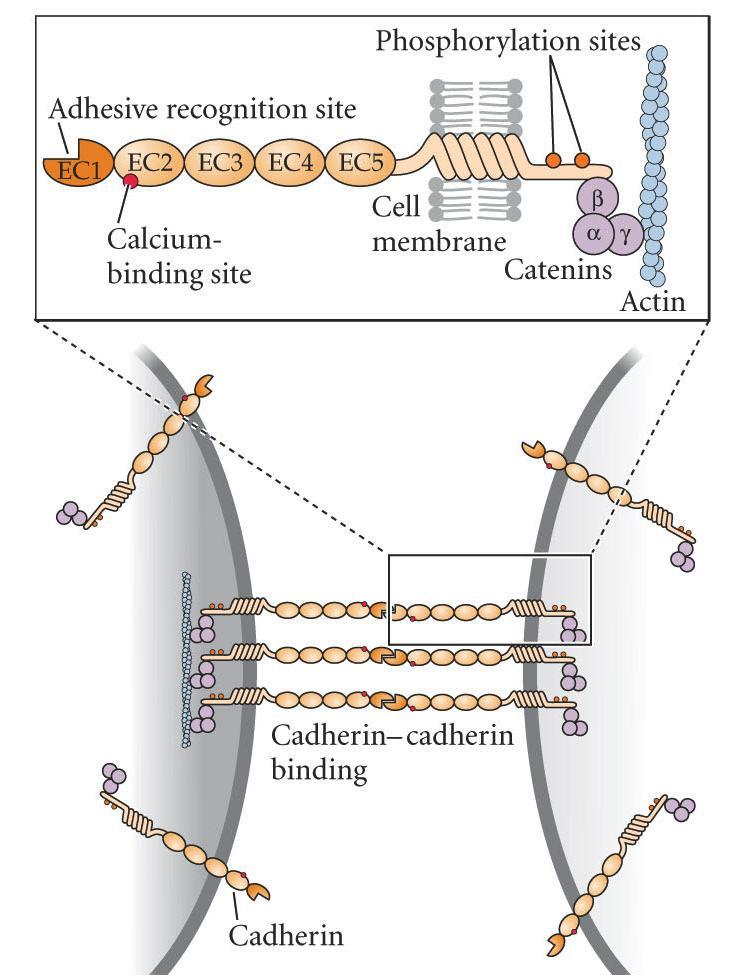 ECM Mediated Cell Adhesion Different cells have different cadherins. Different cadherins have different affinities for each other.