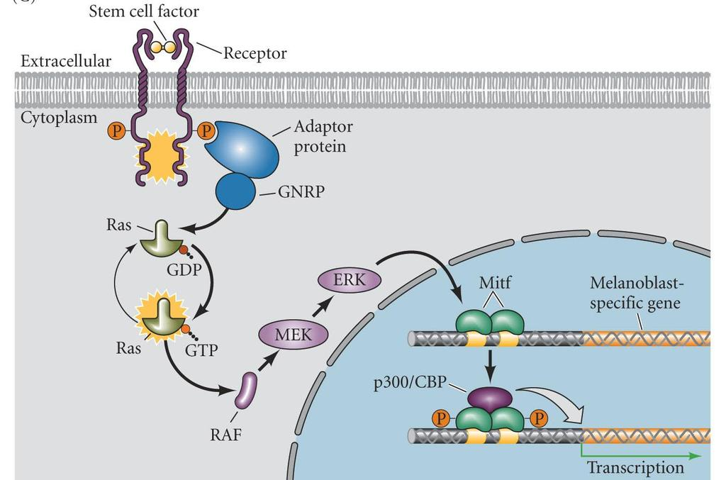 RTK Pathway MITF MITF microphthalmia transcription factor Stem cell