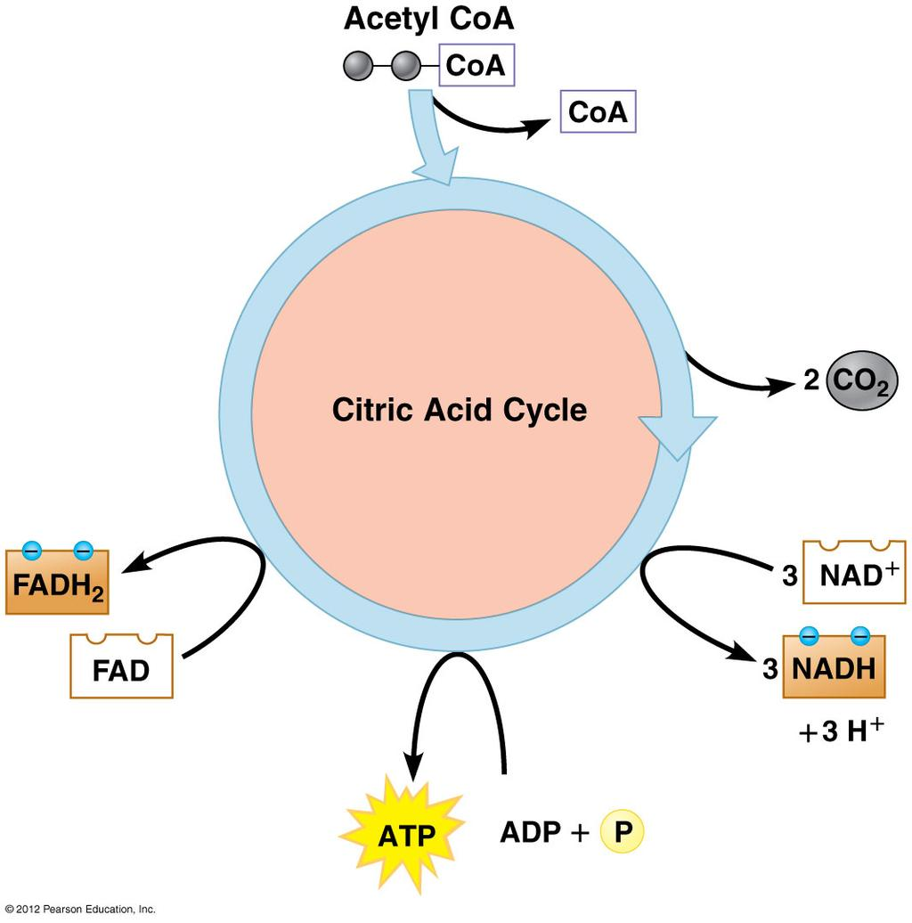 Citric Acid Cycle/ Kreb s Cycle Ø 2 molecules of acetyl-coa are generated from one glucose Ø Per Acetyl-CoA 2 C removed as CO 2 3 NAD + reduced to NADH,
