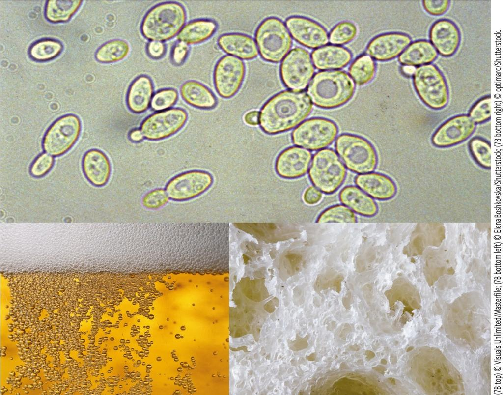 Yeast uses alcohol