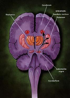 The nigrostriatal path sends DA messages from the substantia nigra to the basal ganglia.