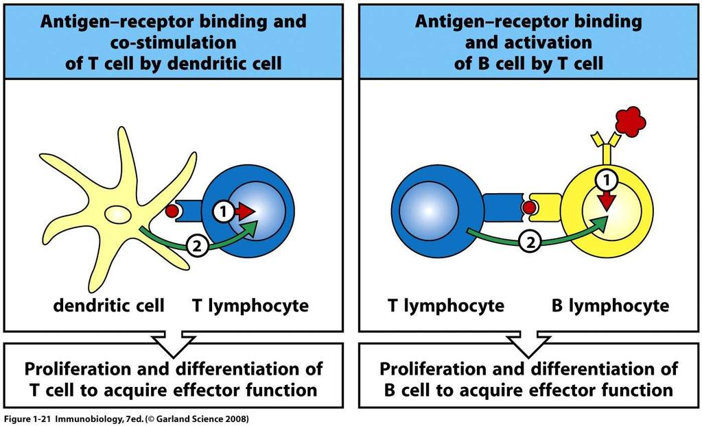Stimulation of Lymphocytes *Must be mature DC Both T and B cells require stimulation thru AgR