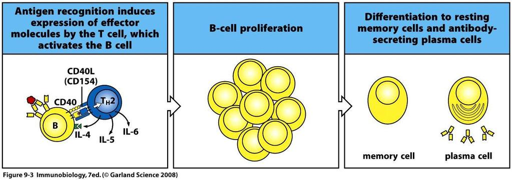Activation of B cells generates Ab-producing plasma cells and memory B cells Cytokines also induce class