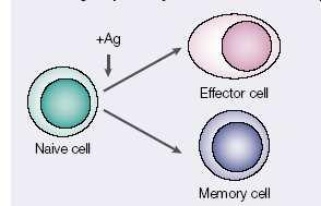 Effector and central memory T cells are both derived from memory precursor Memory
