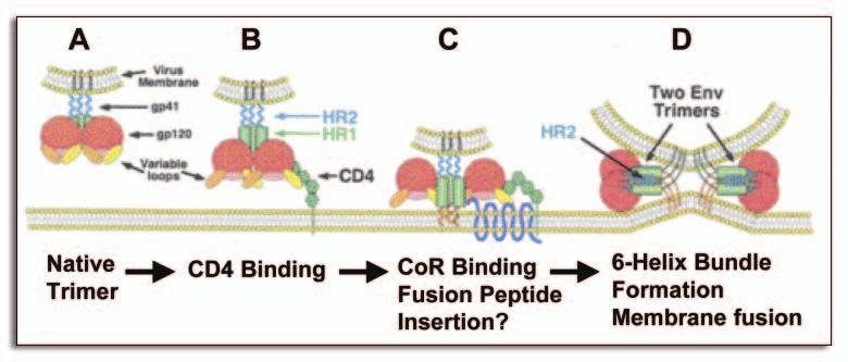 A B C D Figure 4. Receptor and coreceptor mediated entry of virus into CD4 + T-cell. The figure is adapted from Moore and Doms.