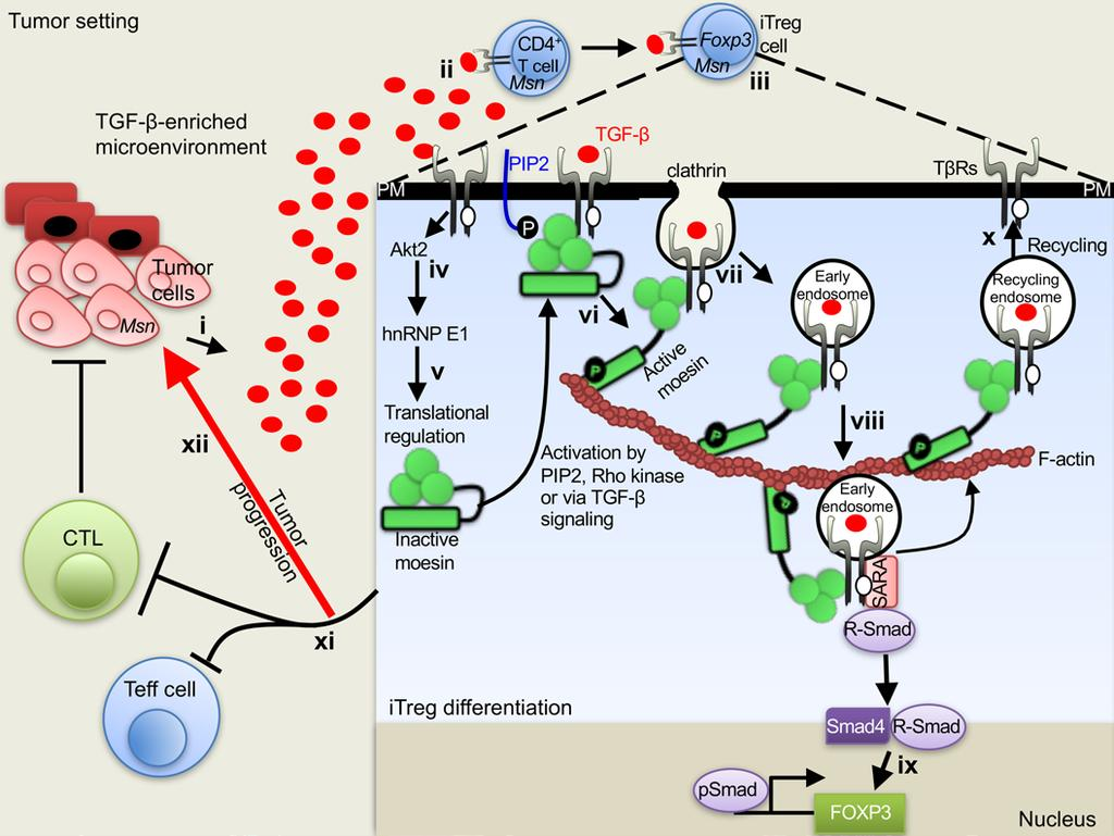 Figure 10. Schematic model on the roles of moesin in controlling optimal TGF-β signaling and promoting itreg generation.