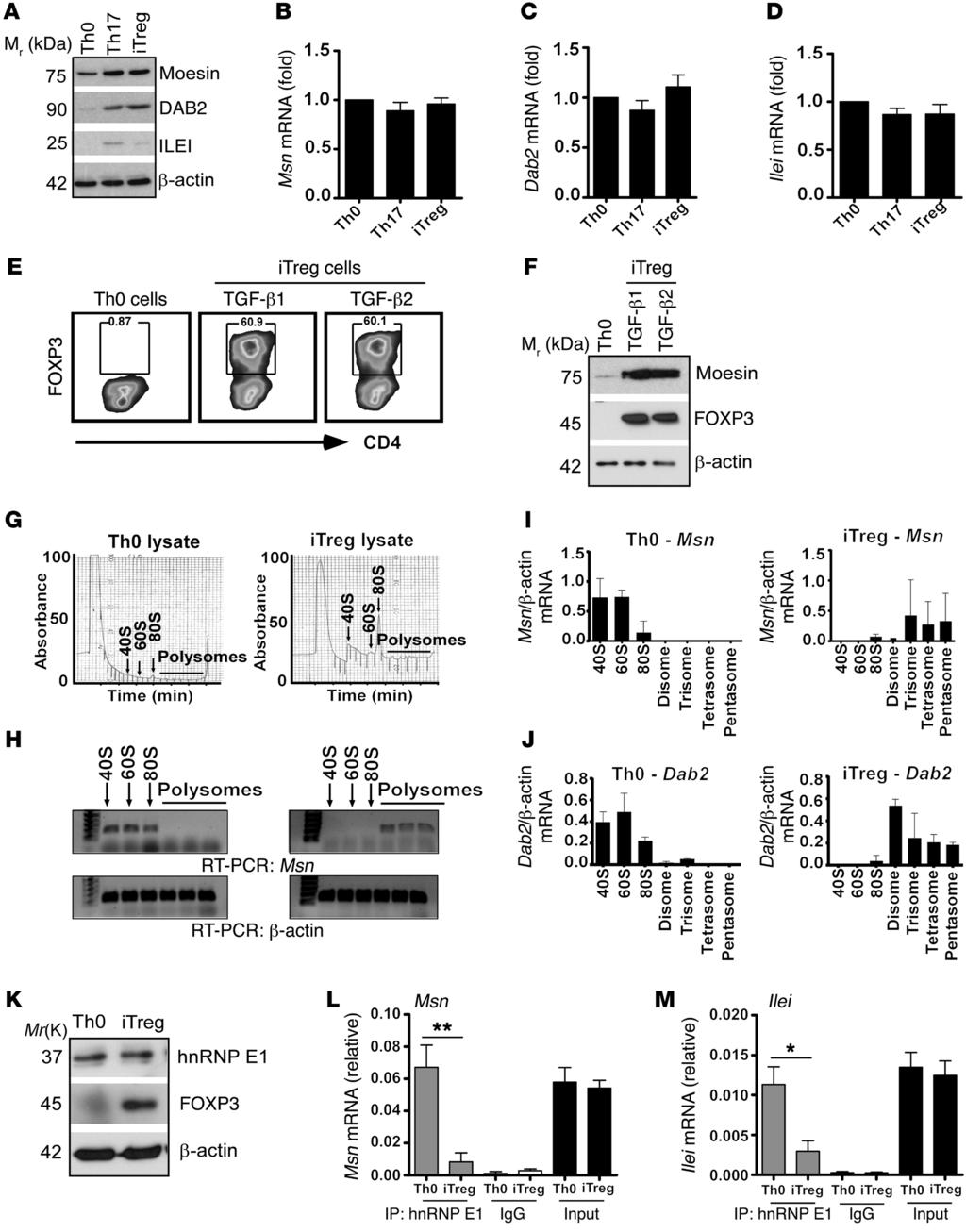 The Journal of Clinical Investigation Figure 1. TGF-β translationally upregulates moesin mrna expression within itregs.