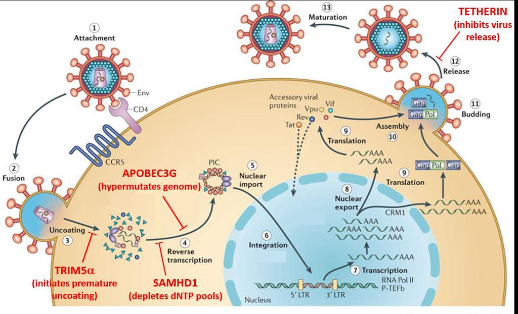 Sites of Host Restriction Activity in HIV Life Cycle