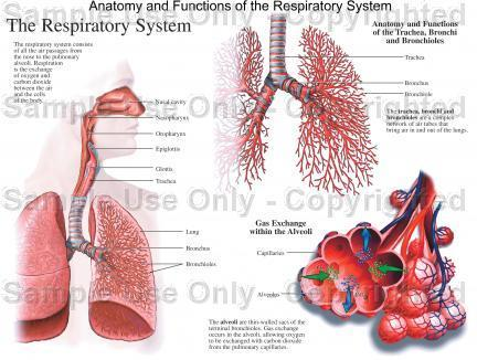 Respiratory Physiology Dr.