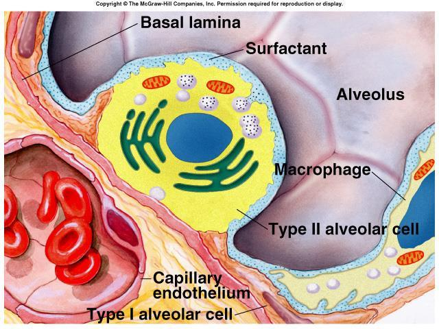 Surface Tension H 2 O molecules at the surface of alveoli are attracted to each other by attractive forces that resist distension called