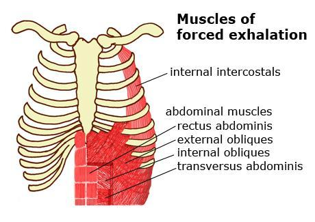 Cont respiratory muscles Inspiratory muscles - During resting inspiration are the diaphragm, external intercostals.